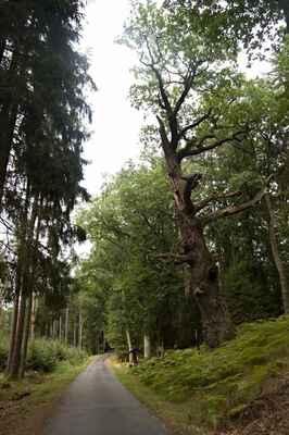 Duby na hrázi zaniklého rybníka u Karštejna.