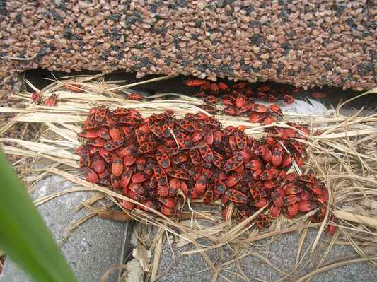 hmyz na slunci - Ruměnice pospolná, ploštice z našeho domu